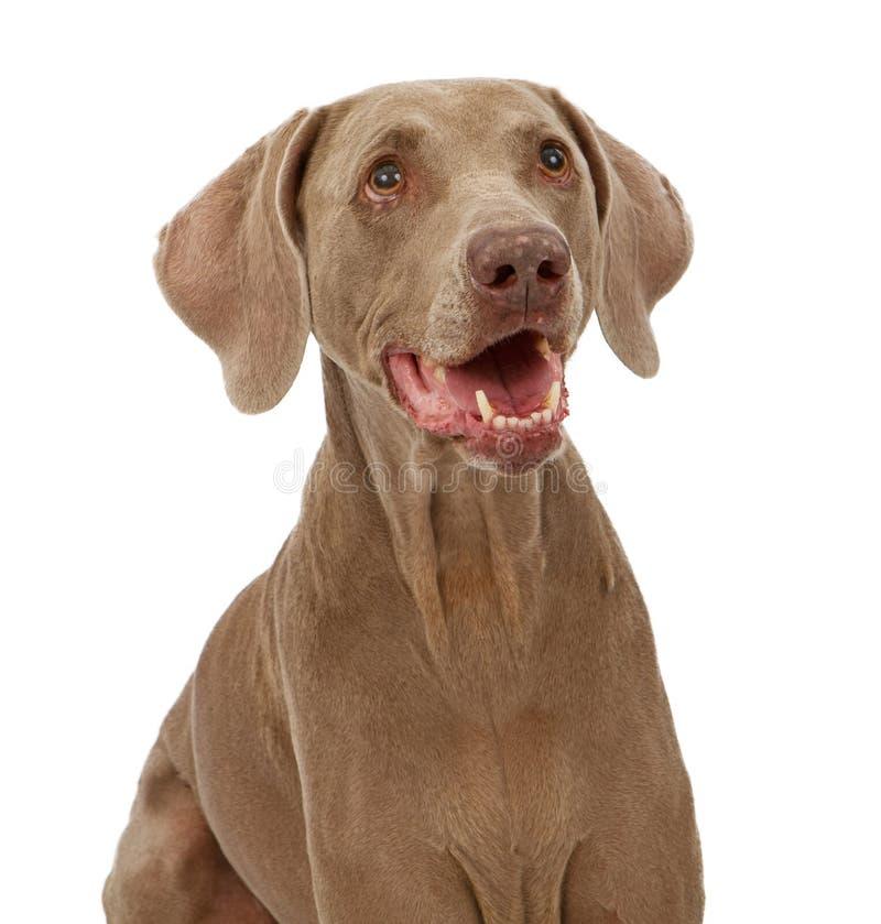 w górę weimaraner zamknięty pies obrazy stock