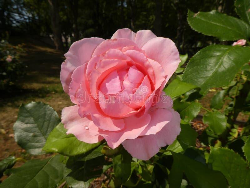 W górę widoku delikatny jasnoróżowy różany krzak fotografia royalty free