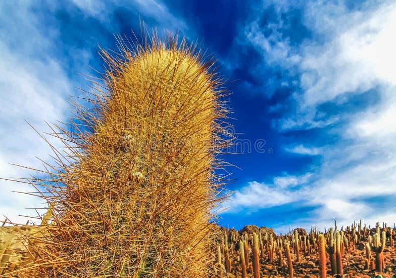 W górę widoku gigantyczni kaktusy przy przy Isla Incahuasi w Salar De Uyuni zdjęcia stock