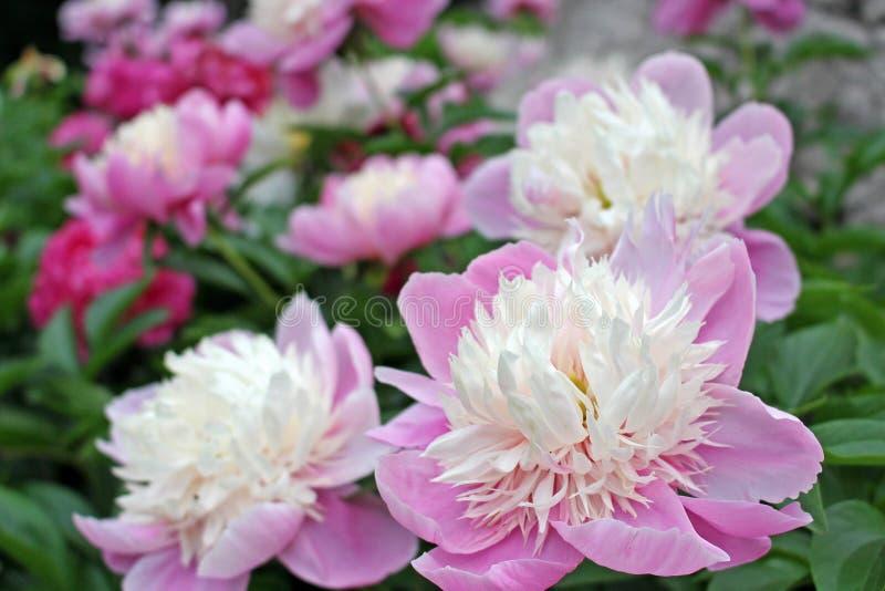 W górę widoku piękny delikatny biały i purpury kwiat w zieleni graden fotografia royalty free