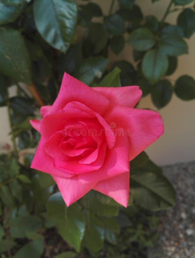 W górę widoku róża krzak z ampuły kopii kwiatami ożywczość wzrastał zdjęcia royalty free