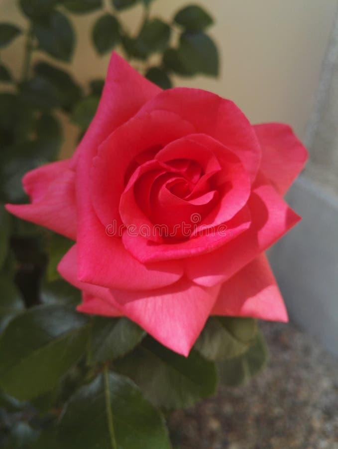 W górę widoku różowi różanego krzaka z dużymi dwoistymi kwiatami obrazy stock