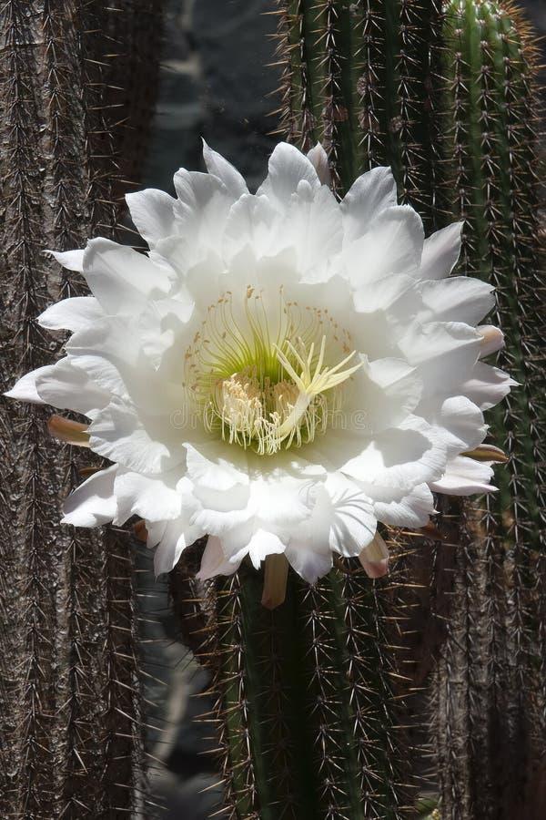 W górę wielkiego białego kwiatu organowej drymby kaktus obraz stock