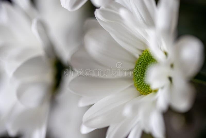 W górę wysoce szczegółowego strzału niektóre piękne białe i zielone chryzantemy zdjęcie royalty free