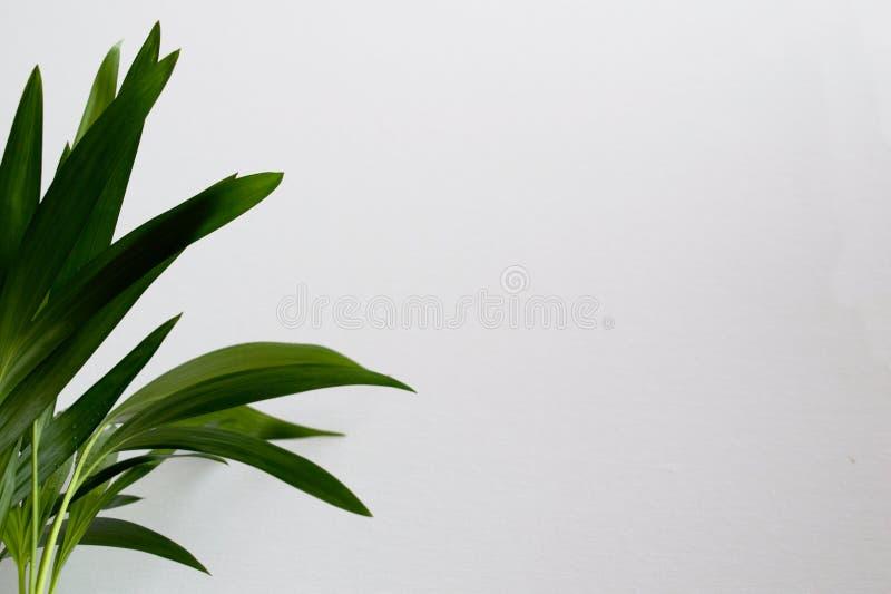 W górę złotej trzciny palmy fotografia royalty free
