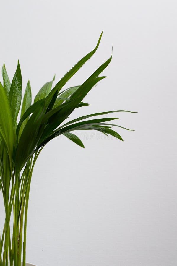 W górę złotej trzciny palmy fotografia stock