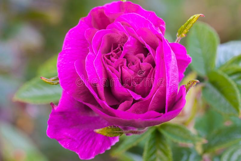 W górę zakończenia Purpurowy kwiat zdjęcie royalty free