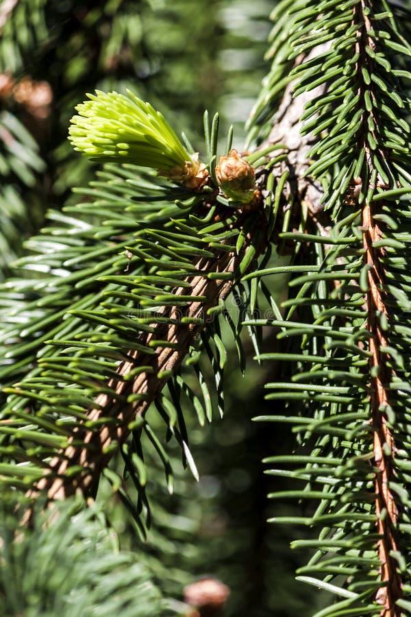 W górę zielonej gałąź sosna na - fotografia zdjęcia royalty free