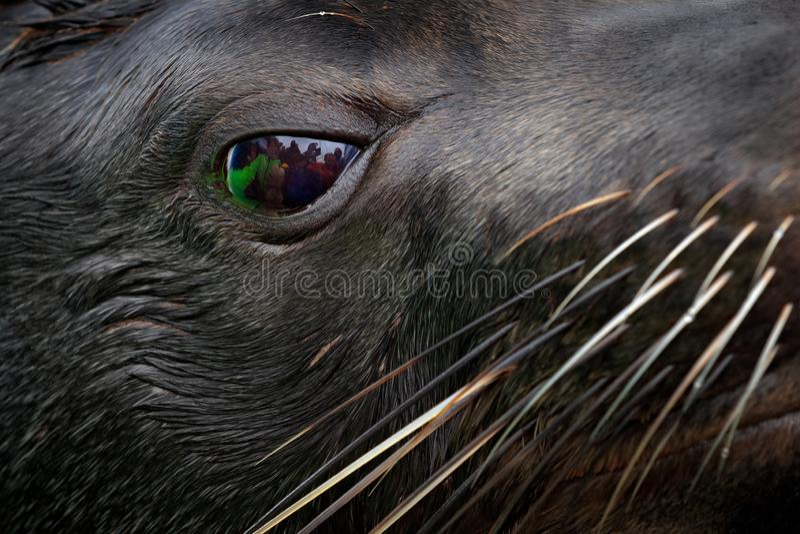 W górę zwierzęcego portreta z grupa ludzi lustrem w dużym oku Przylądka Brown futerkowa foka, Arctocephalus pusillus, szczegół gł obrazy royalty free