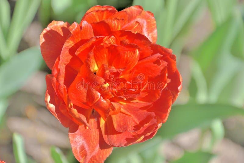 W g?r? czerwonego egzotycznego tulipanu na s?onecznym dniu w ogr?dzie obrazy royalty free