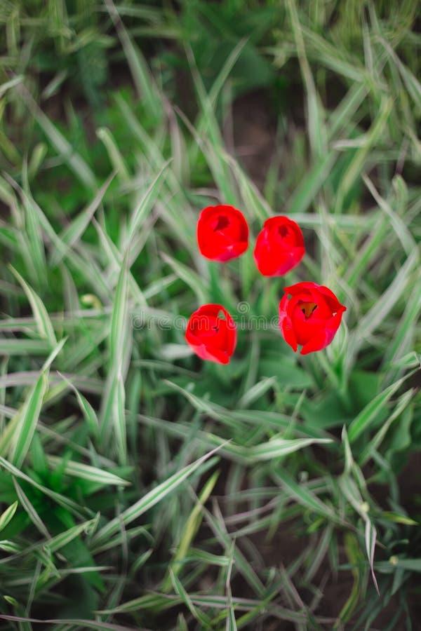 W g?r? czerwonych tulipan?w kwitnie w?r?d trawy i zielenieje zdjęcie royalty free