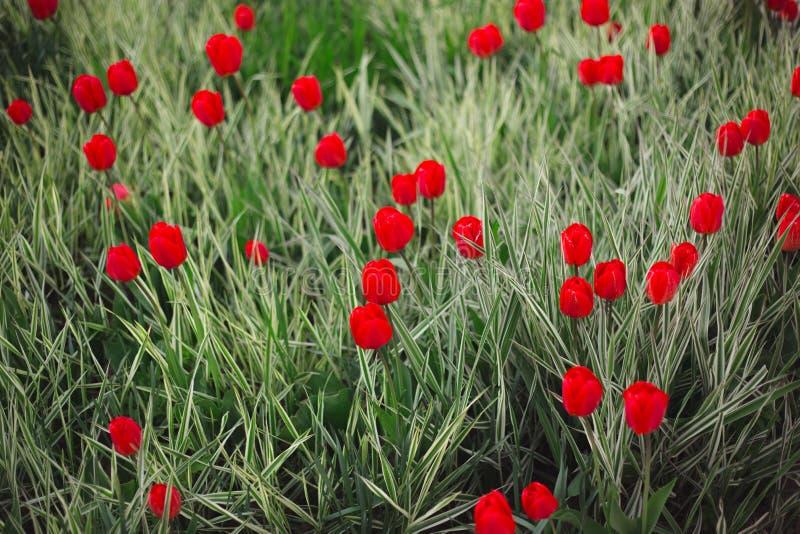 W g?r? czerwonych tulipan?w kwitnie w?r?d trawy i zielenieje obraz royalty free