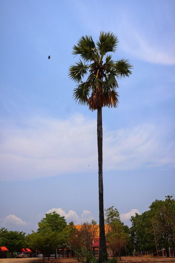 W g?r? obrazk?w wielcy drzewka palmowe, plenerowych w lecie, ptaki lata z powrotem gniazdowa? nieba t?o zdjęcie stock