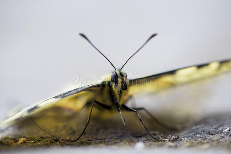 W g?r? rzadkiego swallowtail motyla obraz royalty free