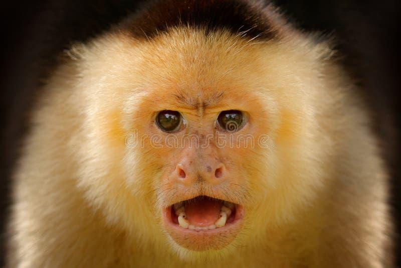 W g?r? szczeg??u ma?pia twarz Przewodzący Capuchin, czerni małpi obsiadanie na gałąź w ciemnej tropikalnej lasowej przyrodzie zdjęcie royalty free