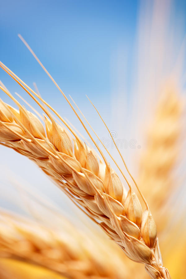 W gospodarstwie rolnym pszeniczni ucho obraz stock