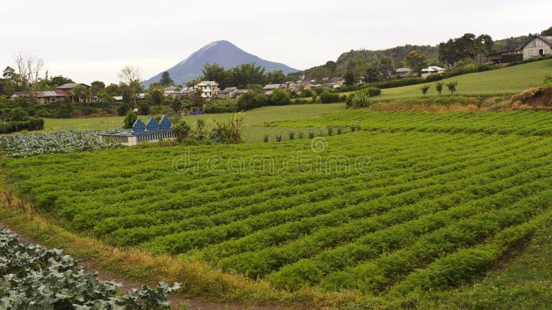 W Gundaling jarzynowi gospodarstwa rolne, Brastagi, Indonezja obrazy stock