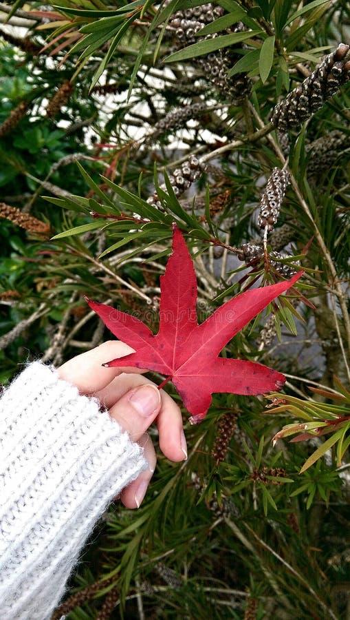 W jesień czerwony liść zdjęcia royalty free