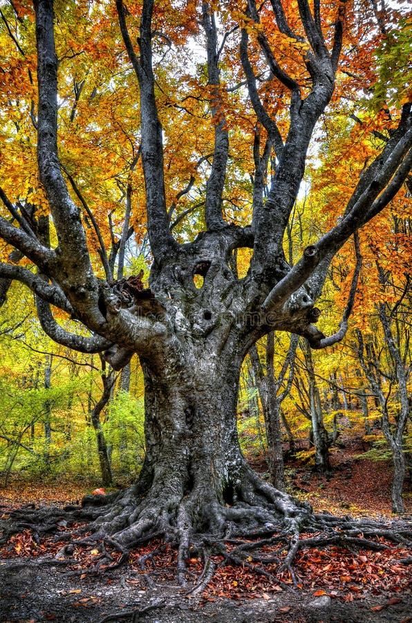 W jesień lesie wielki drzewo zdjęcie royalty free