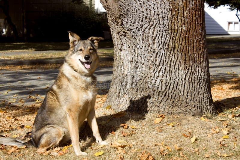 W jesień słońcu uśmiechnięty pies zdjęcie royalty free