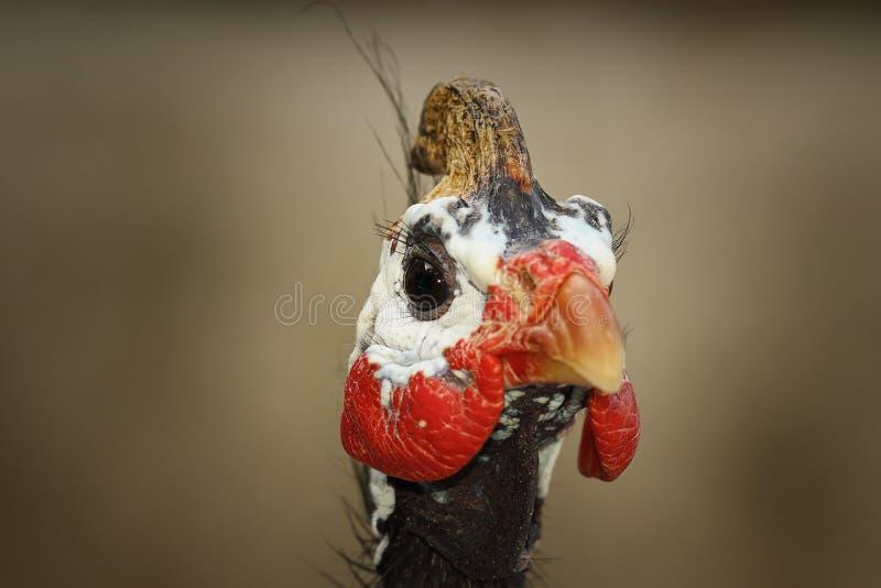 w kasku guineafowl portret zdjęcie royalty free