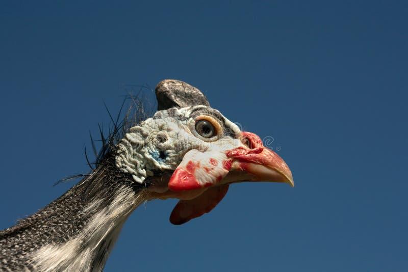 W kasku gwinei ptactwa Numida Meleagris portret zdjęcie stock