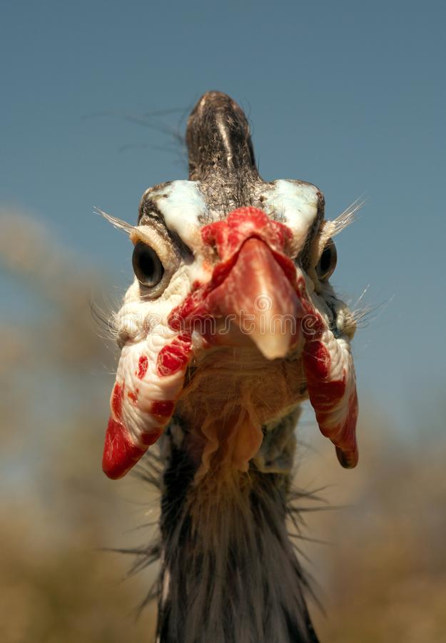 W kasku gwinei ptactwa Numida Meleagris portret fotografia stock