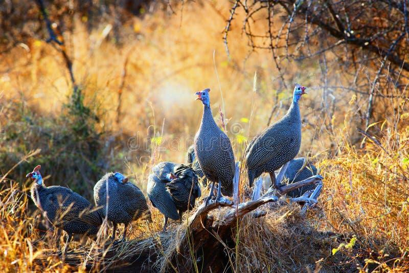 W kasku gwinei ptactwa zgromadzenie w słońcu fotografia royalty free