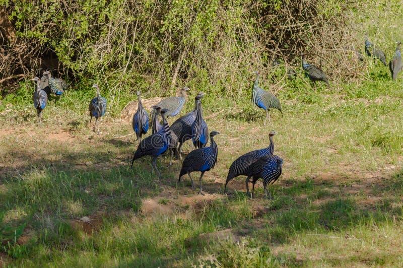 W kasku ptactwo, Numida meleagris, wielki szary ptak w trawie obrazy stock