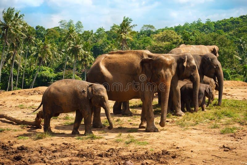 w kierunku odprowadzenie wody słoń rodzina zdjęcia royalty free