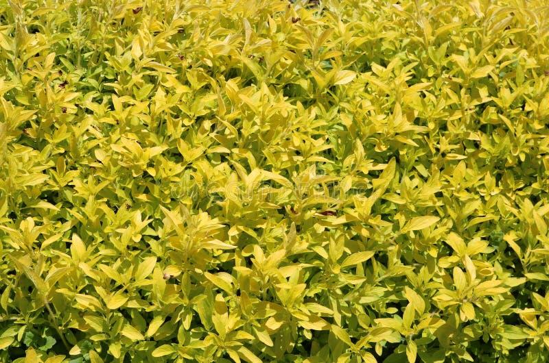 w kontekście niebieskie chmury odpowiadają trawy zielone niebo białe wispy natury Żółte rośliny w wiosna ogródzie fotografia stock