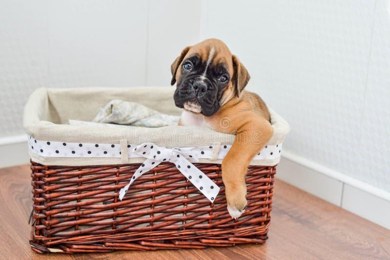 W koszyku leży rodowód, brązowy szczeniak niemieckiego boksera zdjęcia royalty free
