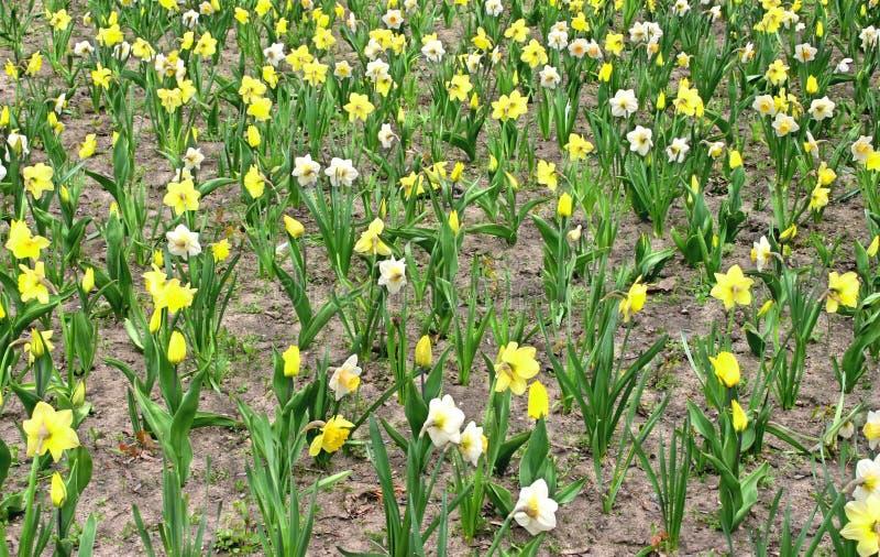 W kwiacie Daffodil kwiaty fotografia royalty free