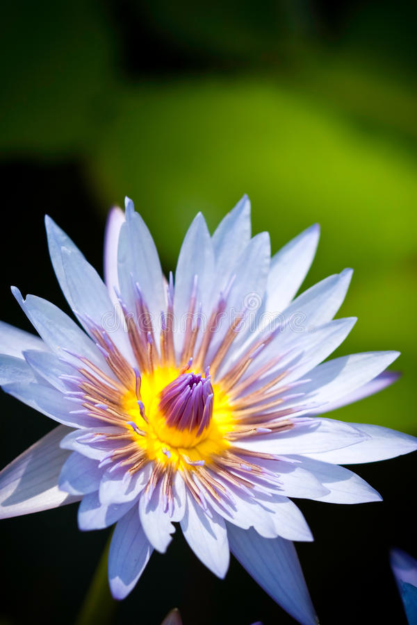 W kwiacie Lotosu błękitny kwiat zdjęcie stock