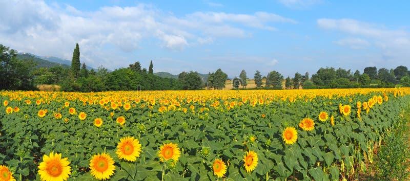 w kwieciści słoneczniki żółte kwiaty Cudowny wiejski krajobraz słonecznika pole w słonecznym dniu obraz stock