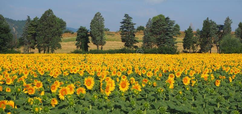 w kwieciści słoneczniki żółte kwiaty Cudowny wiejski krajobraz słonecznika pole w słonecznym dniu obraz royalty free