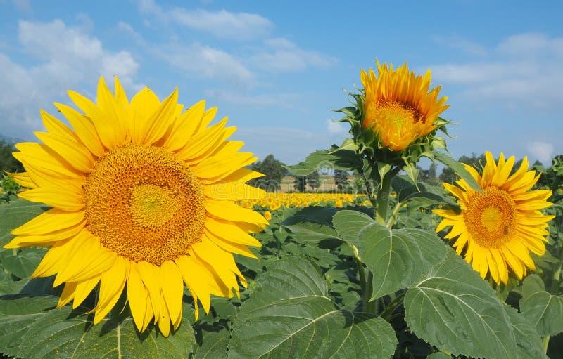 w kwieciści słoneczniki żółte kwiaty Cudowny wiejski krajobraz słonecznika pole w słonecznym dniu obrazy royalty free