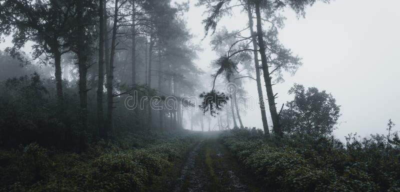W lasowej sosny i mgły drodze w las fotografia stock