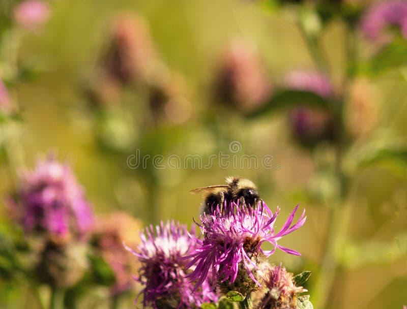 W lecie, bumblebee latał na polu i siedział na łopianie zdjęcia royalty free