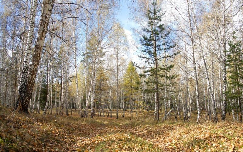 W lesie obraz royalty free