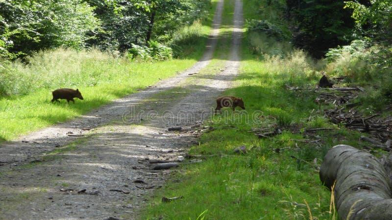 W lesie dziki knur obrazy stock