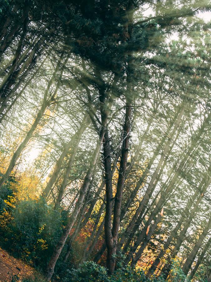 W lesie koślawy drzewo zdjęcie stock