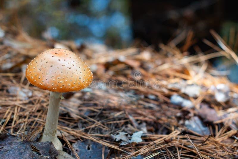 W lesie, Pomarańczowa las pieczarka zdjęcia stock
