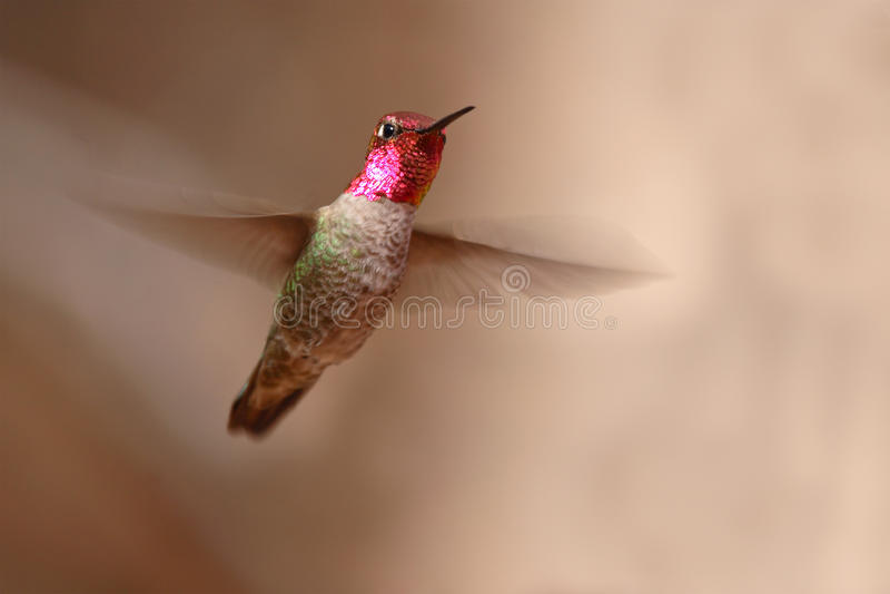 W Locie Anna Hummingbird fotografia royalty free