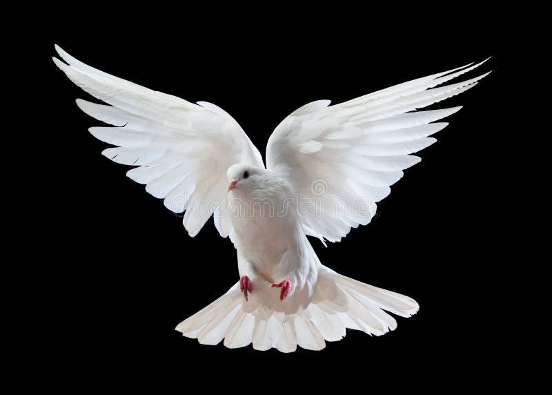 W locie biały gołąbka zdjęcia royalty free