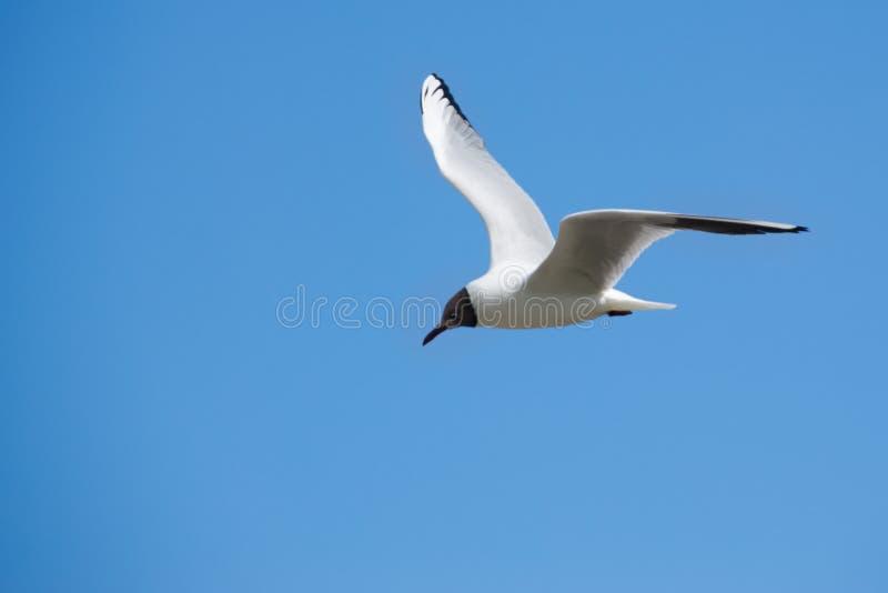 W locie Seagull ptak zdjęcia royalty free