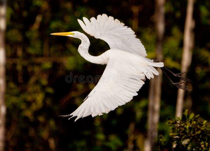 W locie wielki Biały Egret obrazy royalty free