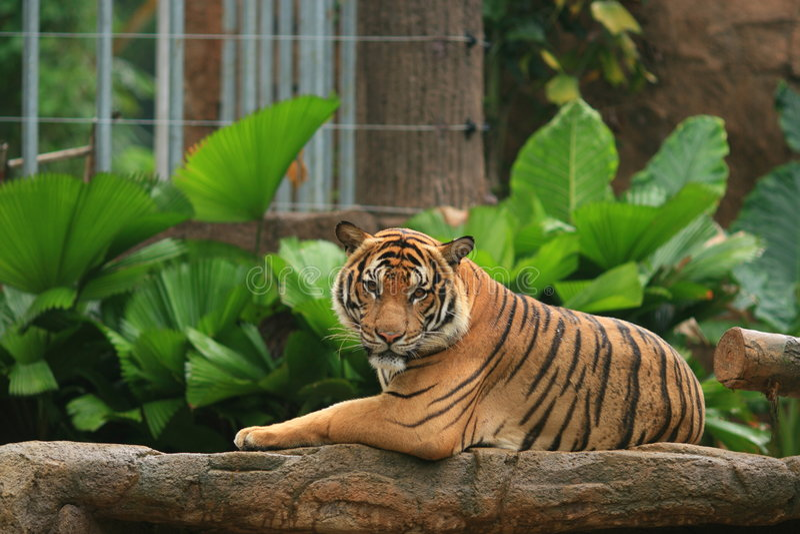 w malayan podbródka króla tygrysa zdjęcie royalty free