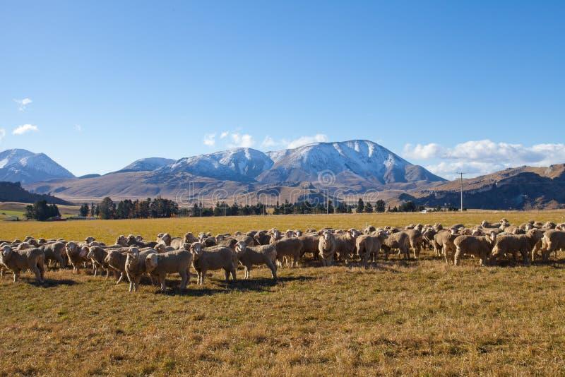 W Nowa Zelandia cakla i trawy pole obrazy royalty free