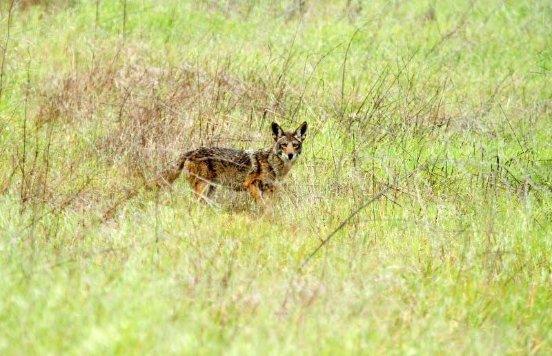 Download W Obszar Trawiasty Dziki Kojot Zdjęcie Stock - Obraz: 26200098